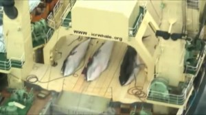 Japan's whaling program halted by court