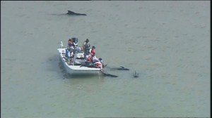 Whale rescue effort underway in Florida