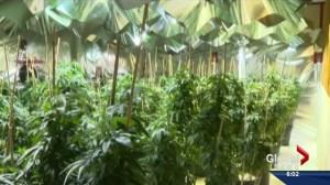 Saskatchewan producer weighs in on new federal medical marijuana regulations