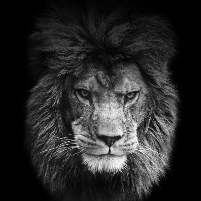 Lion wallpapers for iPhone and iPad