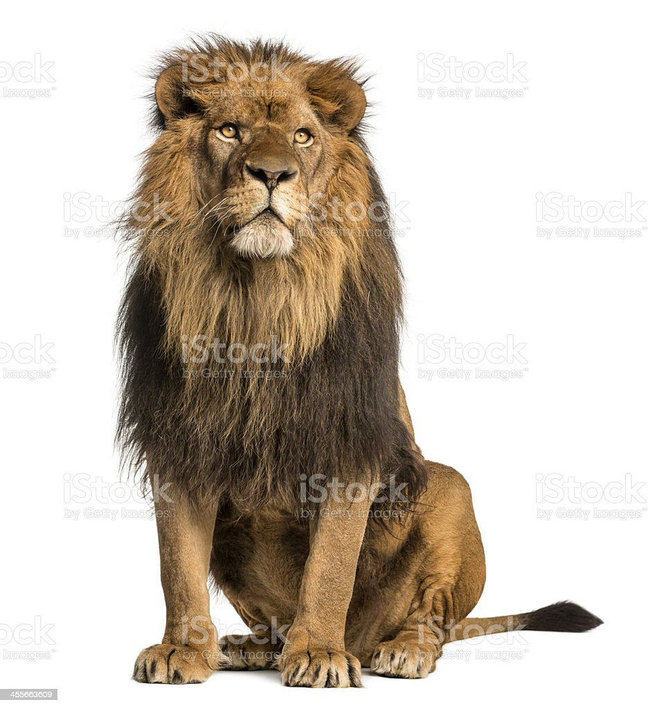 Royalty Free Lion Pictures  Images and Stock Photos   iStock Lion sitting  looking away  Panthera Leo  10 years old  isolated stock photo