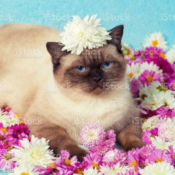 Portrait of Cute Color Point Cat With Chrysanthemums Flowers Stock