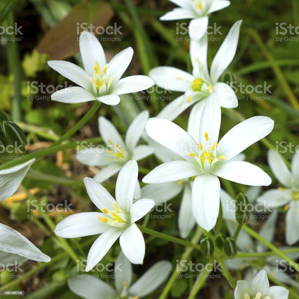 Star Of Bethlehem White Flower Symbolism