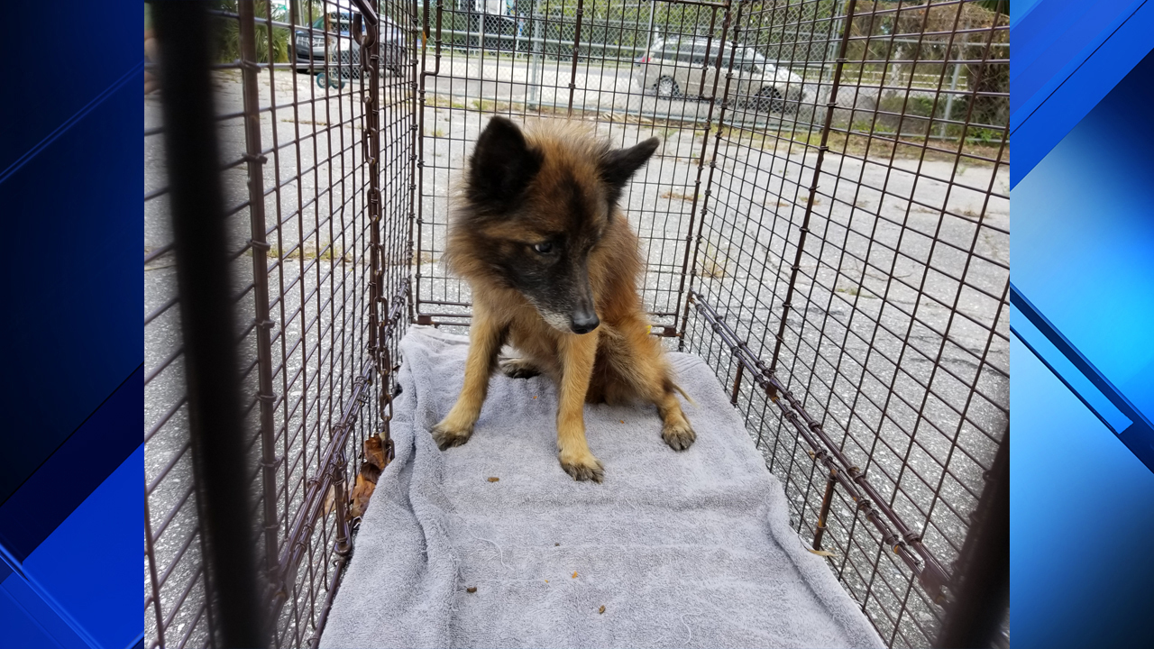 Double Jacksonville Rescue Group Finds Dog Months After It Jacksonville Rescue Group Finds Dog Months After It What Kind Emerald City What Kind Tin Man Dog Is Toto Dog Is Toto bark post What Kind Of Dog Is Toto