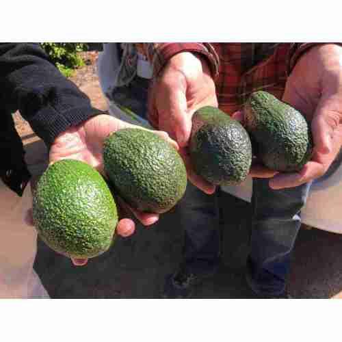Medium Crop Of How Long Do Avocados Last