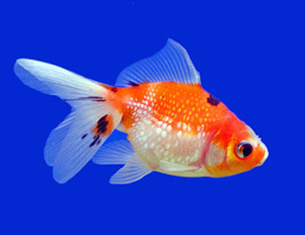 pet fish: See How Owning A Pet Fish Can Be A Great Way To Increase The