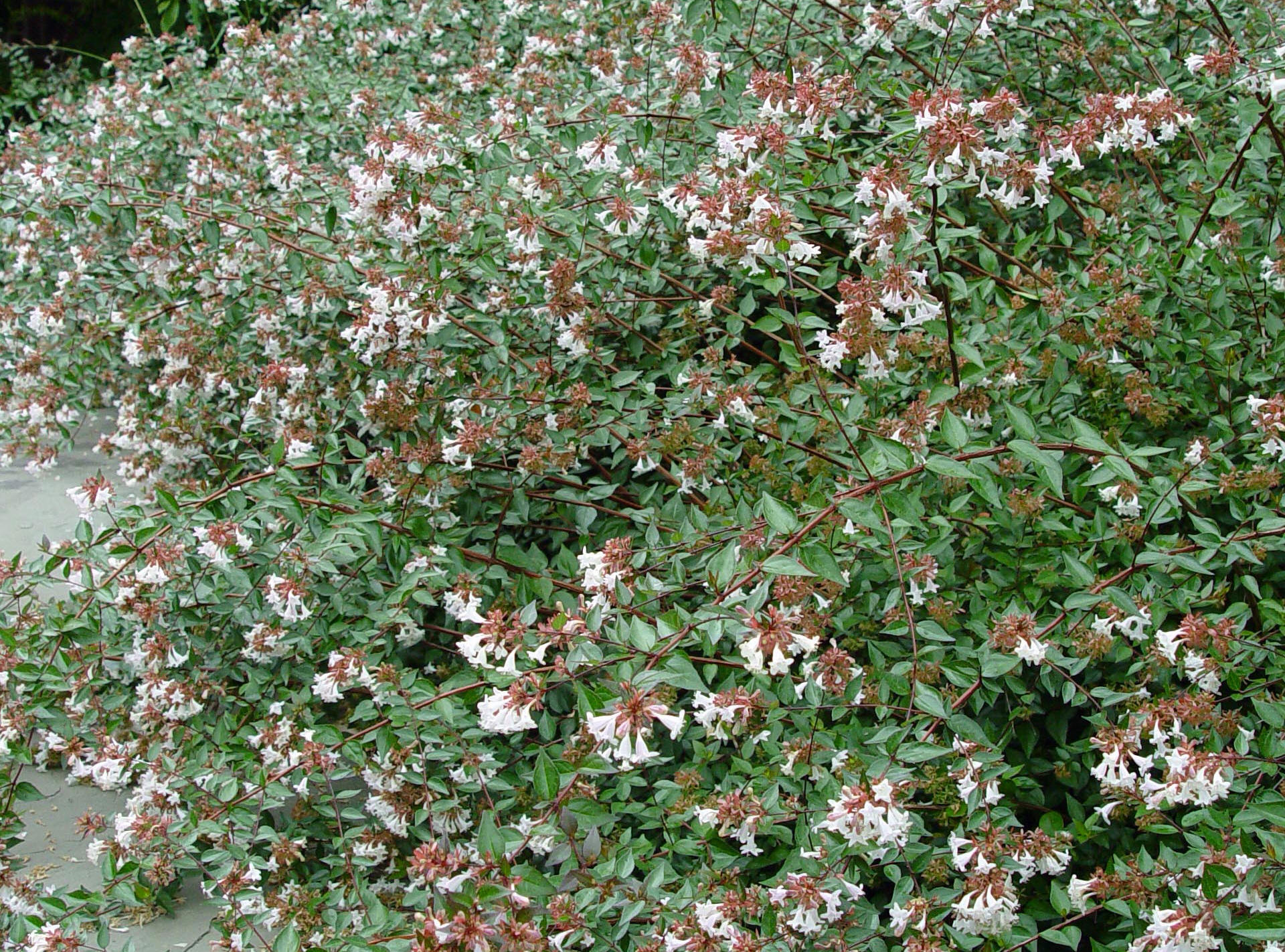 Beautiful An Evergreen Gardening Rose Creek Abelia Texas Rose Creek Abelia Ideas Abelias A Good Choice Abelias A Good Choice An Evergreen Gardening George Weigel Is A Line Is A Line houzz-03 Rose Creek Abelia