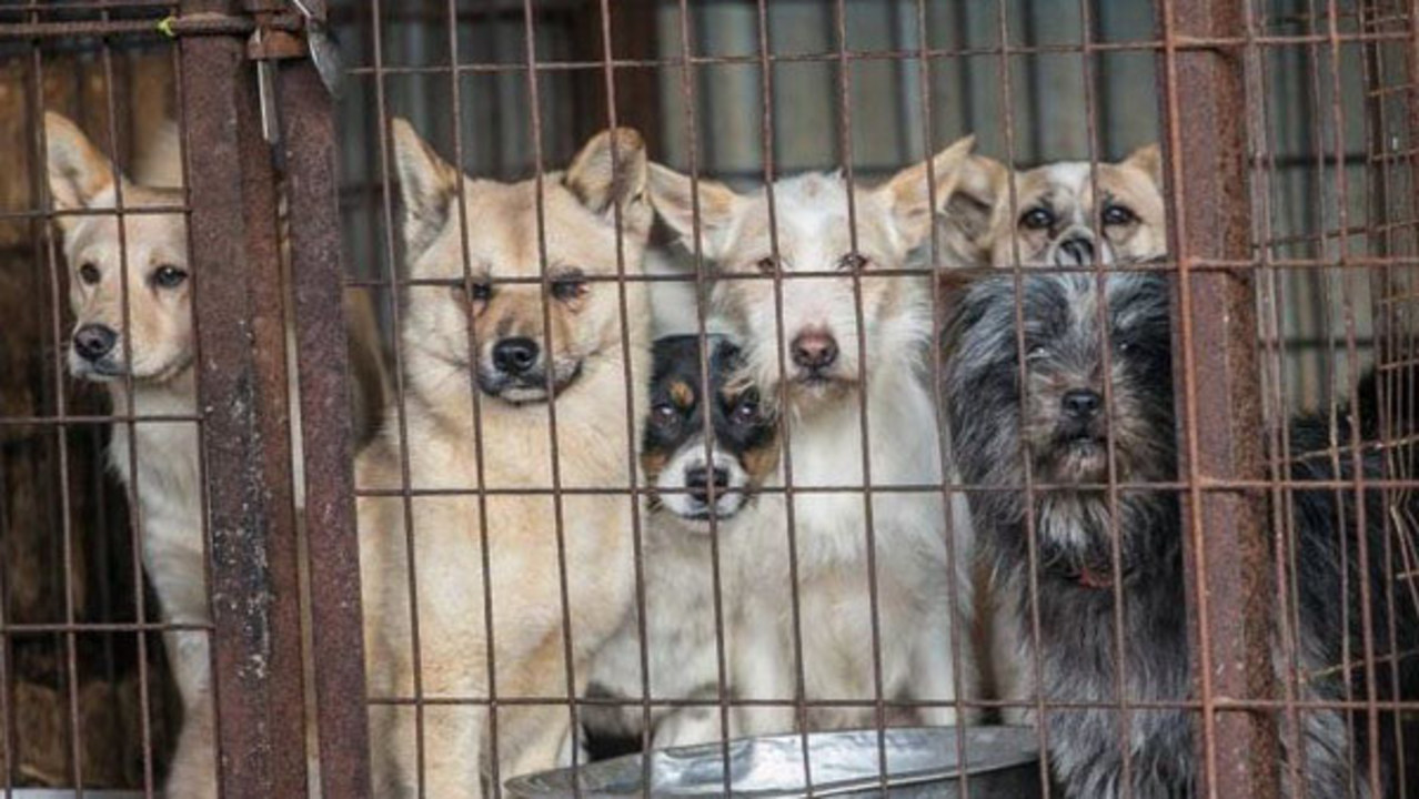 Prodigious Dogs Rescued From South Korean Dog Meat Farm Coming To Tampa Korean Dog Breed Food Korean Dog Breeds Sale bark post Korean Dog Breeds