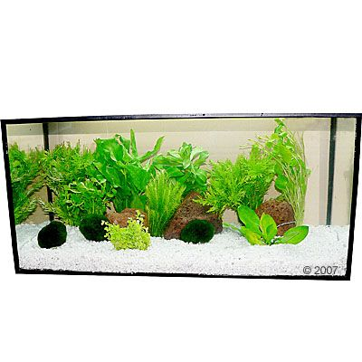 50437 zooplants hellgruen 2 Aquarium   Aquariumplanten 