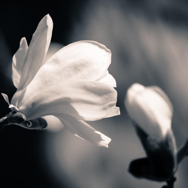 magnolia.foto: BelleBluePhoto