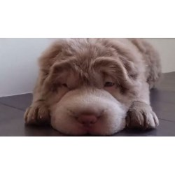 Small Crop Of Teddy Bear Dog