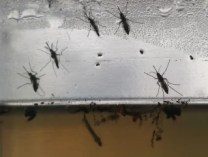 Image: Aedes aegypti mosquitos in various stages of development