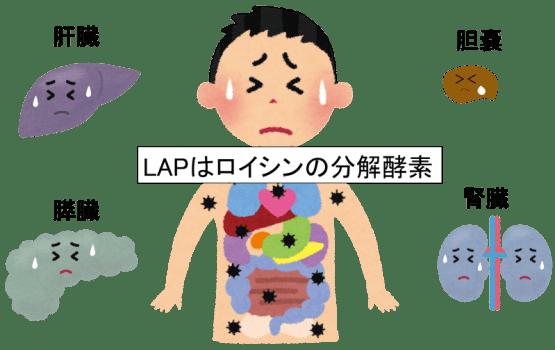 leucine aminopeptidase