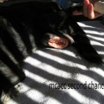 Flower, Schipperke-Border Collie Mix - Medical Animals In Need (1)