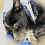 Flower, Schipperke-Border Collie Mix - Medical Animals In Need (3)