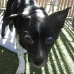 Flower, Schipperke-Border Collie Mix - Medical Animals In Need (7)