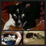 Flower, Schipperke-Border Collie Mix - Medical Animals In Need - Updates (5)