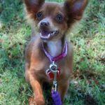 Adele, Chihuahua mix puppy