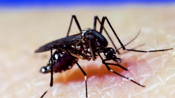 Mosquito A. Aegypti. CAMERON P. SIMMONS