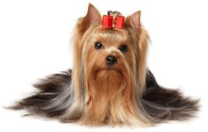 datos sobre yorkshide terrier