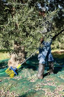 olive harvest 13