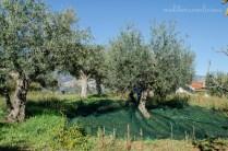 olive harvest 3