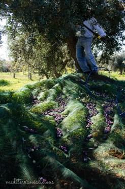 olive harvest 8