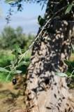 olives 5