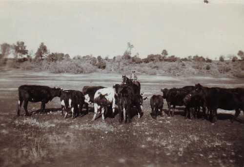 S. Brown's cattle in Upper Bidwell Park Jan 11 1935