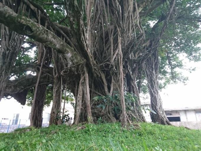 地元・金武町伊芸にでんと構える樹齢300年余のガジュマル