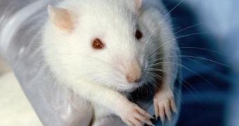 Ratos com danos na medula recuperam movimentos com estímulos elétricos diretamente no cérebro