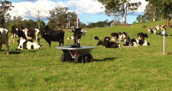 Entre humanos e cachorros, vacas preferem pastores-robôs