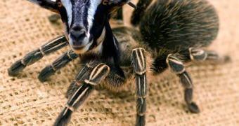 Teia artificial pode ser melhor do que ordenhar aranhas
