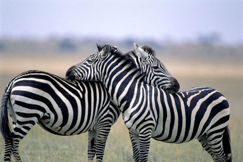 Michael Despines' safari photo of zebras