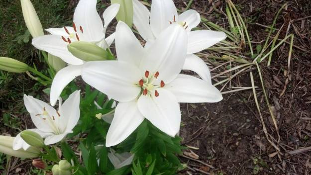 White lillies 2