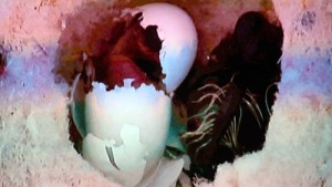 The hummingbird eggs take anywhere from an hour to two to hatch.  Baby hummingbirds are born with a few downy feathers across their backs like a Mohawk but otherwise naked. Photo captured by Teri Nehrenz from the film footage shot by Don and Noriko Carroll.
