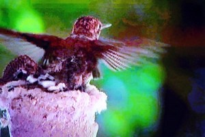 A baby Hummingbird flaps its wings for its first flight, a split second later, it was gone.  The baby will leave and stick around the nest but will never return to the nest for shelter or as its home.  Photo captured by Teri Nehrenz from the film footage shot by Don and Noriko Carroll.