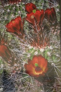 This digital photography piece 'Claret Cup' Shirley Smith is just one of the many works of art on display during July's 'Splash of Color' exhibit held at the Mesquite Fine Arts Center. Works on display are also available for sale.  Photo by Teri Nehrenz