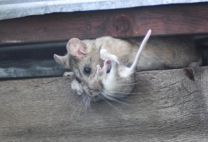 Packrat mom and child in shed on Libby Creek. Photo by Sue Misao