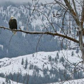 On Patrol. Surveiling Monday morning's commute into Twisp, this bald eagle did its part to keep the traffic flowing smoothly at the Loup Loup intersection. Photo by Darla Hussey