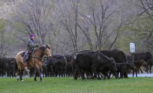 Carrie Fink, riding Brooks, works to keep the herd focused on moving forward instead of snacking on the grass near Blackbird's Cafe. Photo by Darla Hussey