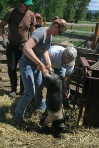 Heidi Ott maneuvered her pig onto the scale, assisted by John Sorg, lower right, who was preparing to weigh the pig. Most of the pigs, which are about 2 months old, weigh between 40 and 55 pounds. They have to be between 225 and 290 pounds to qualify for the fair. Photo by Marcy Stamper