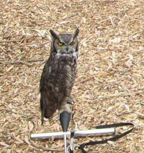 Hermes, a great horned owl, waits for his turn in the spotlight. Photo by Don Nelson