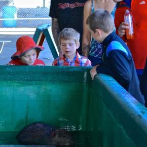 A beaver was also on display as part of the free fishing day events. Photo by Laurelle Walsh/i>