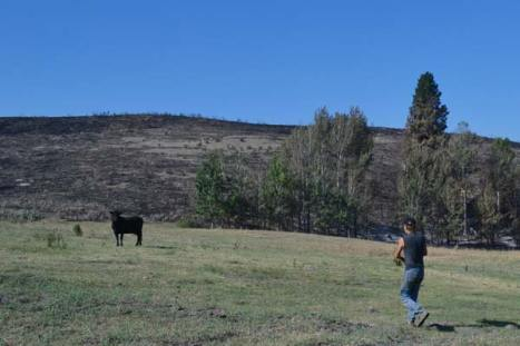 Kurt Clees attempts to round up the last cow off the range above Burma Road. Photo by Laurelle Walsh