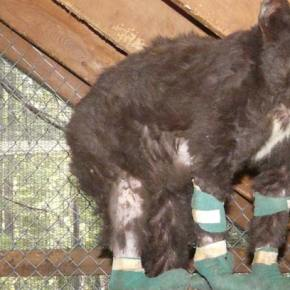Badly burned bear cub has Cinder-ella story