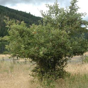 County urges combat of apple maggot threat