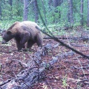 Big bear — but not a grizzly
