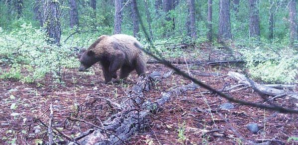 Photo courtesy of Mike Newman A trail camera snapped this photo of what has been identifed as a brown-phased black bear.