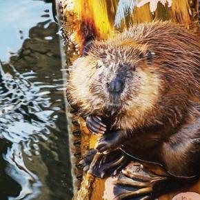 The beaver believers